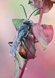 Occitanicus di Palmodes della vespa Immagini Stock