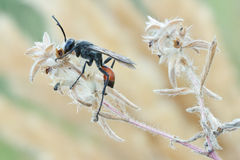 Occitanicus di Palmodes della vespa Fotografie Stock Libere da Diritti