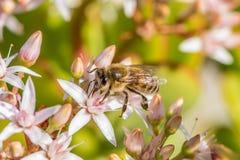 ` Occupato come ` 2-5 dell'ape Immagini Stock Libere da Diritti