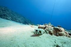 Oceaan en pufferfish royalty-vrije stock foto's