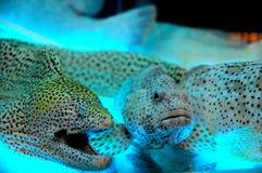 Oceaan Overzeese Baarzen Royalty-vrije Stock Fotografie