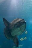 Oceaan sunfish (mola Mola) Royalty-vrije Stock Foto's