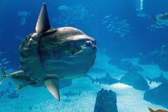 Oceaan sunfish (Mola-mola) Royalty-vrije Stock Foto's