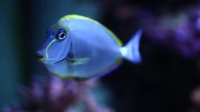 Oceaanbahianus van chirurgenAcanthurus onderwater in het aquarium stock video