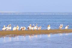 Oceaanwater van groeps het wilde Pelikanen, Skeletkust Namibië Royalty-vrije Stock Foto's