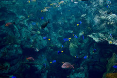 In the ocean. Colorful fish swimming in a pacific ocean Royalty Free Stock Images