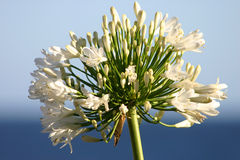 Ocean agapanthus Stock Photos