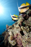 Ocean And Bannerfish Royalty Free Stock Photo