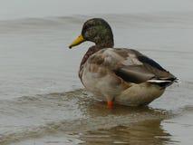 Mallard duck bird portrait closeup nature water. Ocean background  one duck wildlife ocean Royalty Free Stock Photo