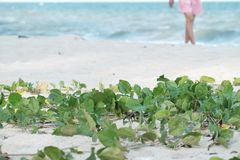 Morning glory plant growing on the sand beach with blurred a female walking around the area stock images