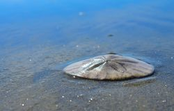 Ocean beach sand dollar in wet sea sand Stock Images