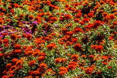 An Ocean of Beautiful Orange Flowers. Stock Images