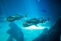 Ocean big fish in a large aquarium tank. Lisbon aquarium. Ocean big fish in a large aquarium tank royalty free stock photo