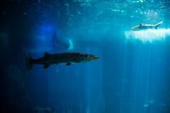 Ocean big fish in a large aquarium tank. Lisbon aquarium. Ocean big fish in a large aquarium tank royalty free stock photography