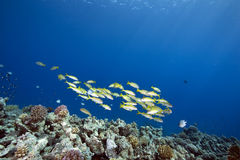 Ocean and bigeye snapper Royalty Free Stock Photo