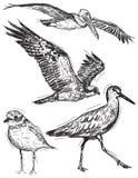 Ocean bird sketches. Sketches of a pelican, osprey, sandpiper, and willet Stock Photos