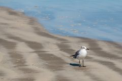 The Gull by the Surf Royalty Free Stock Photos