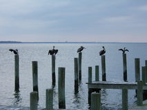 Ocean Birds. Group of five birds perched on the end of a dock in Morehead City, NC stock images