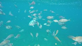 Ocean blue under water fish swimming through sea. Ocean blue under water fish swimming in swarm and chaotic stock footage