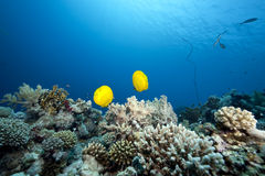 Ocean and butterflyfish Stock Images