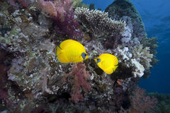 Ocean and butterflyfish Stock Image