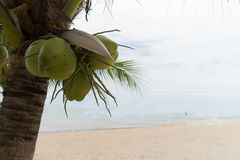 Ocean coconut tree fruit exotic object relax scene. Ocean coconut tree fruit exotic object relax Stock Image