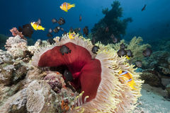 Ocean, coral and anemone Stock Images