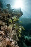 Ocean, coral and blackspotted sweetlips Stock Photography