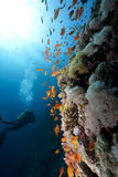 Ocean,coral and a diver Stock Image