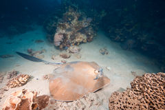 Ocean, coral and feathertail stingray Royalty Free Stock Image