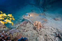 Ocean, coral and feathertail stingray Stock Photography