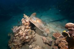 Ocean, coral and feathertail stingray Royalty Free Stock Photos