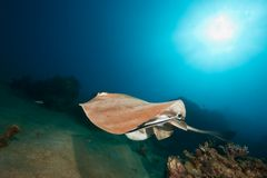 Ocean, coral and feathertail stingray Royalty Free Stock Photo