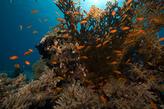 Ocean, coral and fish in the Red Sea. Royalty Free Stock Photo