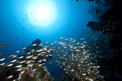 Ocean, coral and golden sweepers Stock Photos