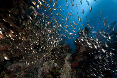 Ocean, coral and golden sweepers Royalty Free Stock Image