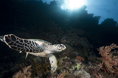 Ocean, coral and hawksbill turtle Royalty Free Stock Images