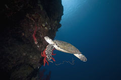 Ocean, coral and hawksbill turtle Stock Image