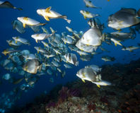 Ocean, coral and orbicular spadefish Royalty Free Stock Photo