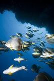 Ocean, coral and orbicular spadefish Royalty Free Stock Photos