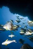 Ocean, coral and orbicular spadefish Royalty Free Stock Photos