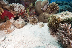 Ocean, coral and stonefish. Taken in the red sea Stock Photography