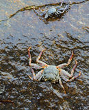 Ocean crab Royalty Free Stock Image