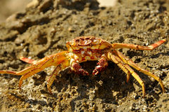 Ocean Crab Basking on Rocks Stock Images
