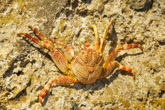 Ocean Crab Basking on Rocks 2. Tropical Ocean Crab Basking on Seashore Rocks in Oahu, Hawaii Royalty Free Stock Images