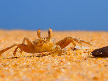 Ocean crab. The close-up of an ocean crab on the grainy sand Stock Photo