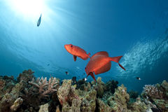 Ocean and crescent-tail bigeye Royalty Free Stock Photography