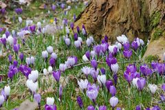Ocean of crocuses Royalty Free Stock Photos