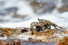 Ocean crustacean Royalty Free Stock Photos