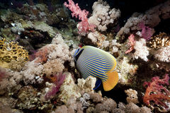 Ocean and emperor angelfish Royalty Free Stock Photography
